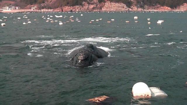 01(150211)남해 연안, 고래 산 채로 발견(사진8).jpg
